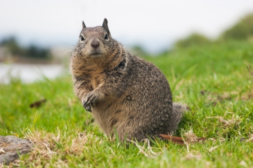 Godfather Squirrel